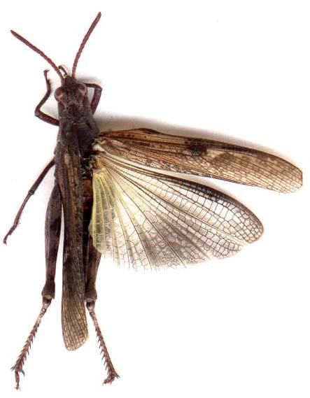 Criquet volant - Insecte vert volant ...