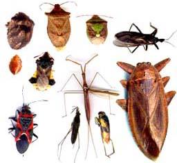 Guide d 39 identification d 39 insectes du qu bec - Insecte vert volant ...