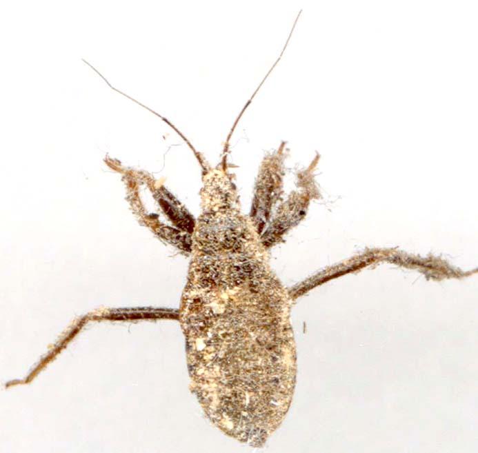 Reduve - Photo d insecte de maison ...