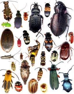 Guide d 39 identification d 39 insectes du qu bec - Gros vers blancs dans le compost ...
