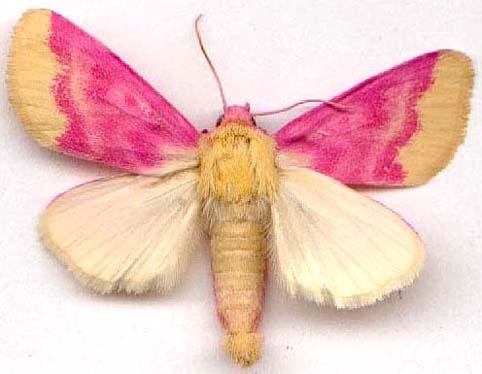 Альбом пользователя ЕкатеринаКостинская: Бабочка Мотылёк первоцветный. Коллекция 36 бабочек-малявок